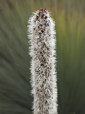 Grass Tree (Close Up)