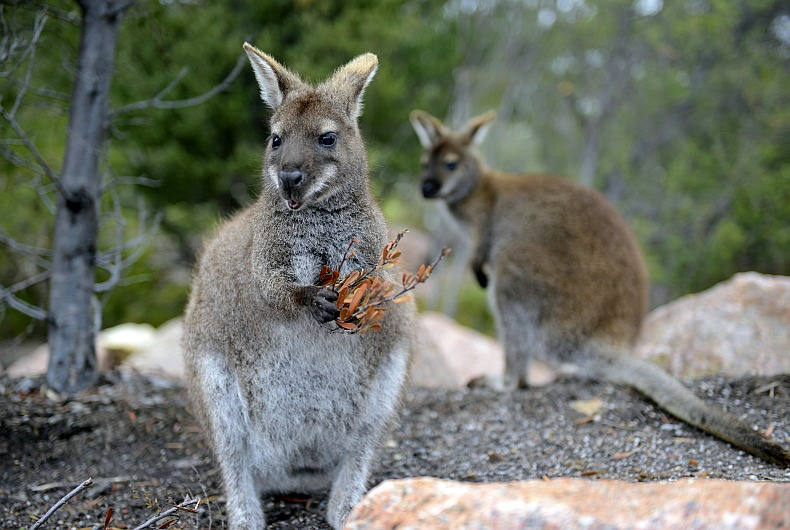 Black Swamp Wallabies