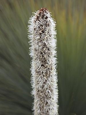 Grass Tree (Close Up)
