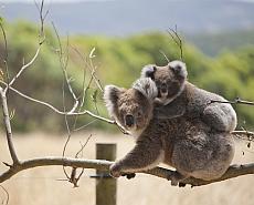 Great Ocean Walk Koalas