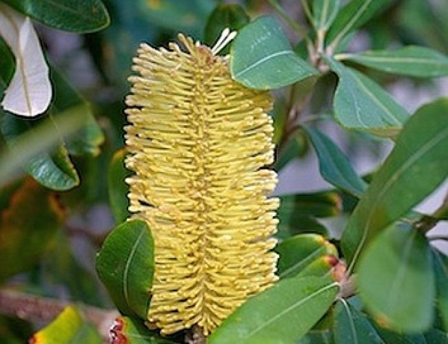 Gallery_Plants_Banksia_353x530