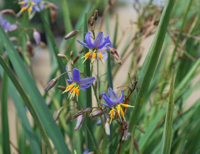 flax-lily